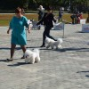 Lexus in ring at Bichon Club National specialty, Barnaul, 06.09.14